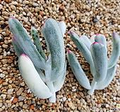 최삼급 원종복랑금(윗머리컷팅 원종방울복랑금 잎장상처 있어요)|Cotyledon orbiculata cv variegated