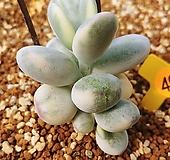 방울복랑금09187|Cotyledon orbiculata cv variegated