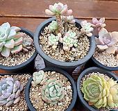 모듬6종 (라울,짚시,올펫,온슬로우,먼로,바닐라비스)|Sedeveria Pudgy