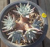 묵은자연군생 화이트그리니7두 분지중|Dudleya White gnoma(White greenii / White sprite)