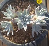 묵은자연군생 화이트그리니6두분지중|Dudleya White gnoma(White greenii / White sprite)