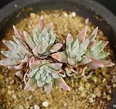 화이트그리니 특가 8I18-2|Dudleya White gnoma(White greenii / White sprite)