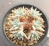 화이트그리니 24-155|Dudleya White gnoma(White greenii / White sprite)