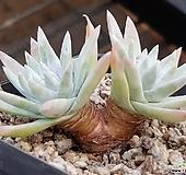 화이트그리니 183|Dudleya White gnoma(White greenii / White sprite)