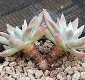 화이트그리니 38|Dudleya White gnoma(White greenii / White sprite)