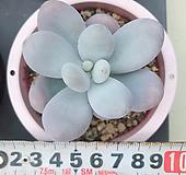 문스톤 실생|Pachyphytum Oviferum Moon Stone