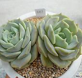 플뢰르블랑크 S09-687 Echeveria Fleur Blanc