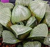 크리스탈무치카 x 농백운 실생(Crystal Mutica x 濃白雲 實生)-08-22-No.1460 Echeveria elegans potosina Crystal