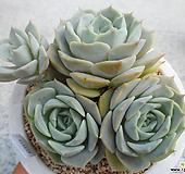 플뢰르블랑크 S09-689 Echeveria Fleur Blanc