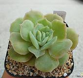 온슬로우금 S09-691 Echeveria cv  Onslow