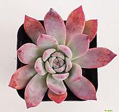콜로라타38|Echeveria colorata