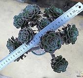달마법사대품1(자연군생|Eonium arboreum var. rubrolineatum