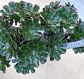 달마법사대품2(자연군생|Eonium arboreum var. rubrolineatum