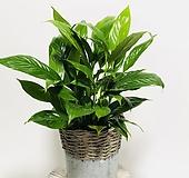키우기 쉬운 스파트필름 실내식물 음지식물 수경재배|