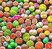 리톱스씨앗 믹스 300립 ( Lithops mix seed ) 280여종믹스-----다육이 화분 비료 분갈이 철화 선인장 분재 꽃 Lithops