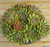 원종블러디마리아 자연군생(왕특대품40cm이상,배송은 매장방문요~)|Echeveria agavoides Maria
