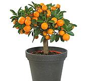 클레멘타인 오렌지 신품종♥시트러스♥수량한정|