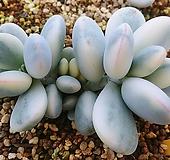 방울복랑금12017|Cotyledon orbiculata cv variegated