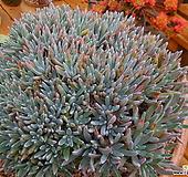 미니(단엽)에둘리스왕대품200두이상~ 1206|Dudleya edulis