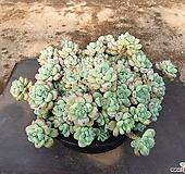 라울(특대자연군생) 33-197|Sedum Clavatum