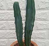 용신목 (나란히 선인장) 3 Myrtillocactus geometrizans Cons