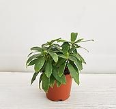천리향/공기정화식물/온누리 꽃농원|