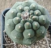 귀선옥선인장12135 Haworthia truncata