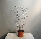 마오리코로키아cotoneaster 고로키아 수입식물 공룡꽃식물원 10|