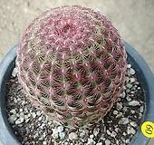 자태양선인장12141 Echinocereus rigidissimus Purpleus