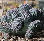선인장용신목철화5738 Myrtillocactus geometrizans Cons