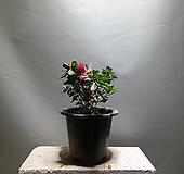 철죽 철쭉 중품 야생화 공룡꽃식물원 40|