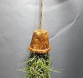 코코넛수염틸란드시아 틸란드시아 공중식물 공룡꽃식물원 40|Tillandsia