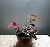 무늬백화등 백화등 소품 초설 마삭 공룡꽃식물원 25|