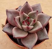 레드에보니 2317|Echeveria agavoides ebony red