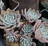 핑크프리티대품37|Echeveria Pretty in  Pink