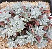 화이트그리니(자연군생)33두|Dudleya White gnoma(White greenii / White sprite)