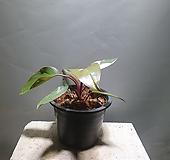 필로덴드론핑크프린세스 필로덴드론 수입식물 공룡꽃식물원|