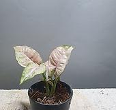 핑크스팟싱고니움 싱고니움 싱고늄 수입식물 공룡꽃식물원|