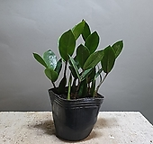 금전수 개업식물 공룡꽃식물원 20|Zamioculcas zamiifolia
