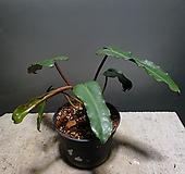 필로덴드론빌리에타 필로덴드론 수입식물 공룡꽃식물원 25|