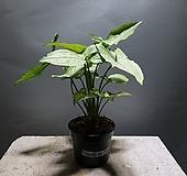 싱고니움애로우 포도폴리움 수입싱고늄 싱고니움 공룡꽃식물원 50|