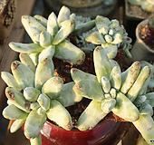 파키피덤 목대 510102 Dudleya pachyphytum