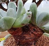 야생파키피덤(뿌리있어요) Dudleya pachyphytum