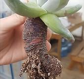 목대 파키피덤 Dudleya pachyphytum