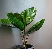 부채야자 대품 야자 공기정화식물 공룡꽃식물원 929|