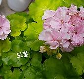 모발(제라늄) Geranium/Pelargonium
