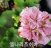 엘라리즈쉬바(제라늄) Geranium/Pelargonium