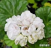 마베캬튤판+꽃사진첨부(제라늄) Geranium/Pelargonium