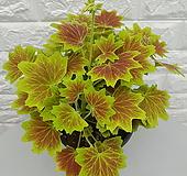 ♥벤쿠버 제라늄, 실내식물, 실내공기정화식물, 관엽식물♥ Geranium/Pelargonium