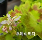 후레쉬워터(제라늄) Geranium/Pelargonium